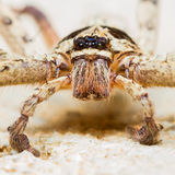 Giant House Spider Royalty Free Stock Photography
