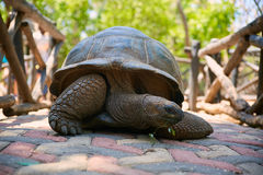 Close up of giant land tortoise eating leaves in mouth Royalty Free Stock Photos