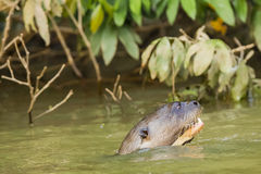 Close-up of Giant Otter Swimming Upstream in Green Water. A giant otter looks wide-eyed as it appears to strain while swimming upstream in green water near some Stock Image