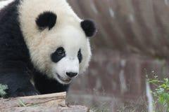 Close-up Giant panda Fluffy Face , China. Giant Panda Cub in Chengdu Panda Base on the playground Stock Photos