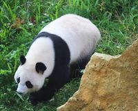Giant panda, Ailuropoda melanoleuca. Close up of giant panda in forest Royalty Free Stock Photography