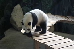 Giant panda, Ailuropoda melanoleuca. Close up of giant panda in forest Stock Photo