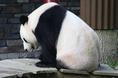 Giant panda, Ailuropoda melanoleuca. Close up of giant panda in forest Stock Photos
