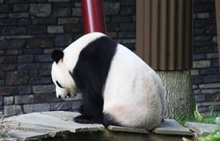 Giant panda, Ailuropoda melanoleuca. Close up of giant panda in forest Stock Photography