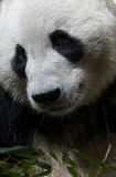 Close up of a Giant Panda Royalty Free Stock Images