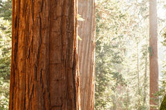 Close-up of Giant Sequoia Tree, Sequoiadendron giganteum,  bark in sunlight Stock Photo