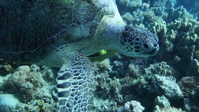 Close up of a giant turtle in the sea. Red sea.  Handheld shot stock video