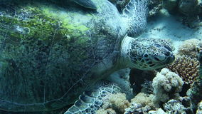 Close up of a giant turtle in the sea. Red sea.  Handheld shot stock video footage