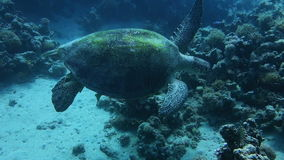 Close up of a giant turtle in the sea. Red sea.  Handheld shot stock footage