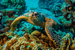 Close up of a giant turtle in the sea, red sea Royalty Free Stock Image