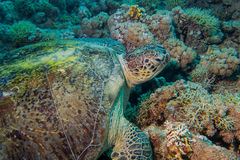 Close up of a giant turtle in the sea, red sea Stock Photography