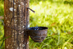 Sap from tree Royalty Free Stock Images