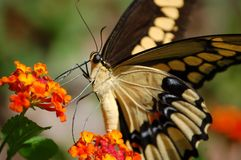 Close-up gigante de Swallowtail Fotos de Stock