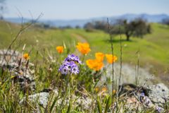 Close up of Gilia wildflowers, blurred poppies in the background, Henry W. Coe State Park, California; selective focus stock photo