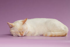 Close up Ginger Cat de sono no roxo Fotos de Stock Royalty Free