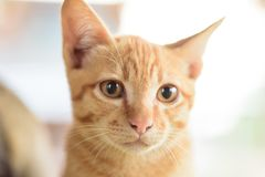 Close up of ginger cat face. Cute pet at home Royalty Free Stock Photos