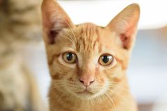 Close up of ginger cat face royalty free stock photos