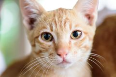 Close up of ginger cat face. Cute pet at home Royalty Free Stock Photo