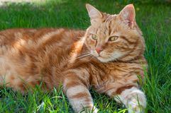 Close-up of ginger cat lying on grass in garden, enjoying sunlight stock photo