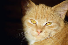 Close-up of ginger cat Stock Images