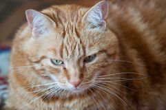 Close-up of ginger fluffy cat at home relaxing royalty free stock images