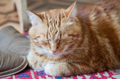 Close-up of ginger fluffy cat at home relaxing stock photos