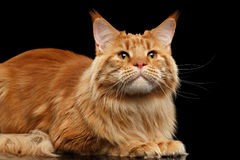 Close-up Ginger Maine Coon Cat Lying, die isoleerde Zwarte omhoog de eruit zien stock afbeelding