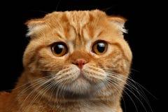 Close-up Ginger Scottish Fold Cat Looking op Zwarte in camera wordt geïsoleerd die royalty-vrije stock foto