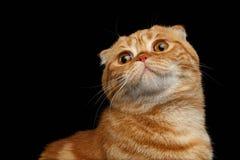Close-up Ginger Scottish Fold Cat Looking op Zwarte omhoog wordt geïsoleerd die stock afbeelding