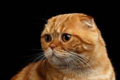 Close-up Ginger Scottish Fold Cat Looking op Zwarte terug wordt geïsoleerd die stock afbeeldingen
