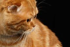 Close-up Ginger Scottish Fold Cat Looking op Zwarte terug wordt geïsoleerd die royalty-vrije stock fotografie