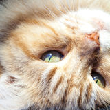 Close Up of Ginger and White Cat Head Upside Down stock images