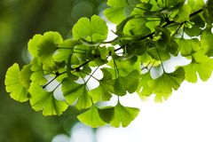 Close-up on Ginkgo Biloba tree. Ginkgo biloba green leaves on a tree in Yonghe Lamasery, Beijing, China Royalty Free Stock Photo