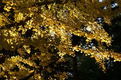 Close up Ginkgo tree stock photo
