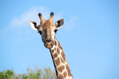 Close up of giraffe Royalty Free Stock Photos