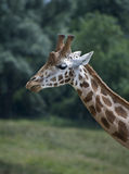 Close up of giraffe Royalty Free Stock Image