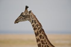 Close-up of a Giraffe Stock Photography