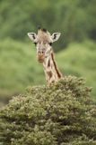 Close-up of a Giraffe Royalty Free Stock Image