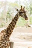 Close-up giraffe Стоковая Фотография RF