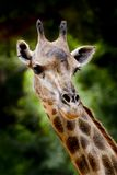 Close up giraffe Royalty Free Stock Photos