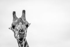 Close up of a Giraffe in black and white. Royalty Free Stock Photos