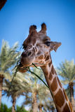 Close up of giraffe Stock Image