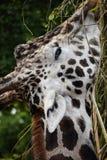 Giraffe eating leaves Stock Images