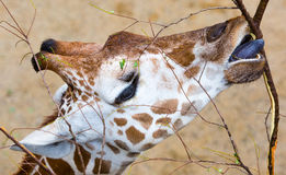 Close-Up Giraffe Eating. A close-up shot of a giraffe eating Stock Photos