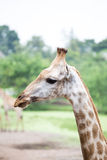 Close up giraffe face Stock Photos