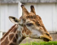 Close-up of a giraffe in front of some green trees. Close-up of a beautiful giraffe in front of some green trees stock image
