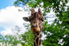Close-up of a giraffe in front of some green trees, looking at t. He camera as if to say You looking at me. With space for text royalty free stock photos