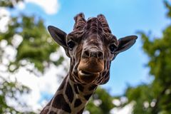 Close-up of a giraffe in front of some green trees, looking at t. He camera as if to say You looking at me. With space for text Stock Photography