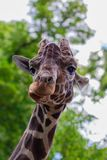 Close-up of a giraffe in front of some green trees, looking at t. He camera as if to say You looking at me. With space for text stock photos