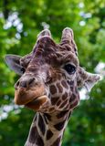 Close-up of a giraffe in front of some green trees, looking at t. He camera as if to say You looking at me. With space for text Stock Photo